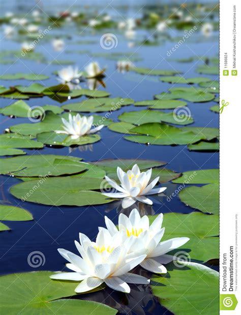 imagenes de flores sobre el agua lago summer con las flores del agua lirio imagenes de