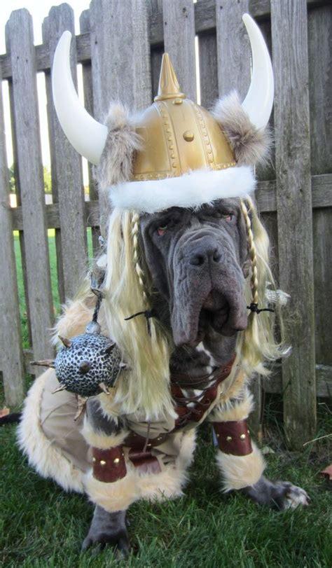 costumes  prove mastiffs  win  halloween
