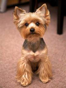 how to cut yorkie hair at home cute yorkie haircuts