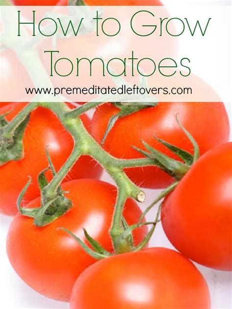 how to grow a tomato 28 images how to grow an incredible crop of tomatoes pretty handy