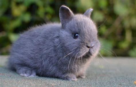 coniglietti nani alimentazione cuccioli disponibili la stalla dei conigli allevamento e