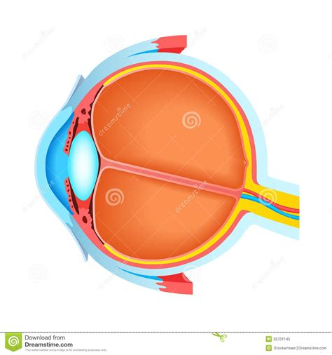 cross section of human eye cross section of human eye stock illustration