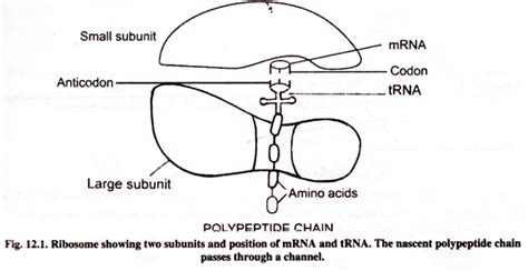 protein diagram protein synthesis translation with diagram