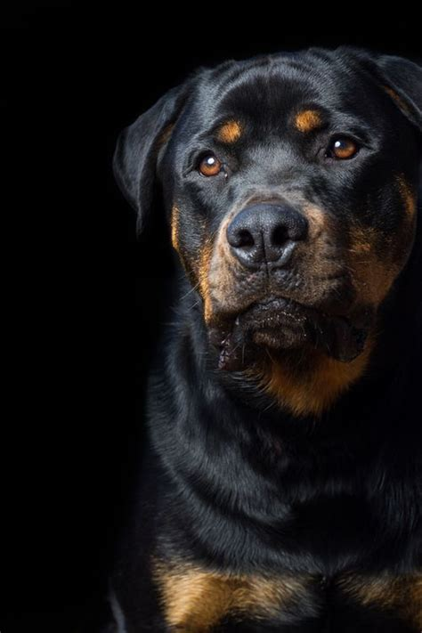 i want to buy a rottweiler 272 best rottweiler images images on rottweilers dogs and rottweiler puppies
