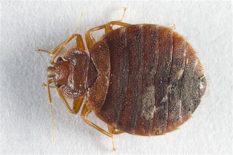 female bed bug male bed bug pictures bangdodo