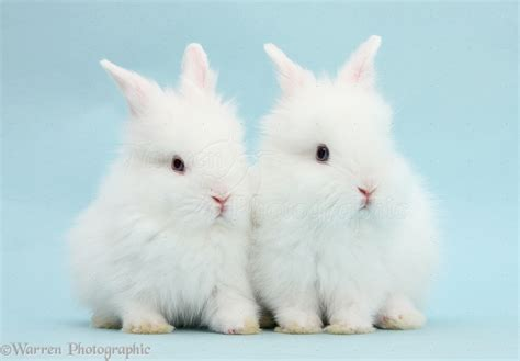 Two cute blue eyed white baby bunnies photo   WP40218