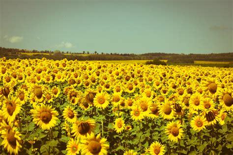 sunflower fields forever kansas city photographer sunflower field photography summer photography nature