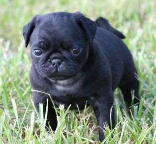 pug puppies south florida pug puppies for sale parkland fl puppies for sale breeds picture