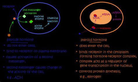 protein vs peptide hormonal