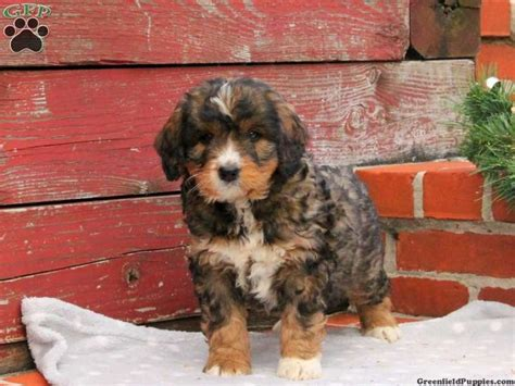 bernedoodle puppies for sale in pa bernedoodle miniature puppies for sale in pa dogs miniature for sale