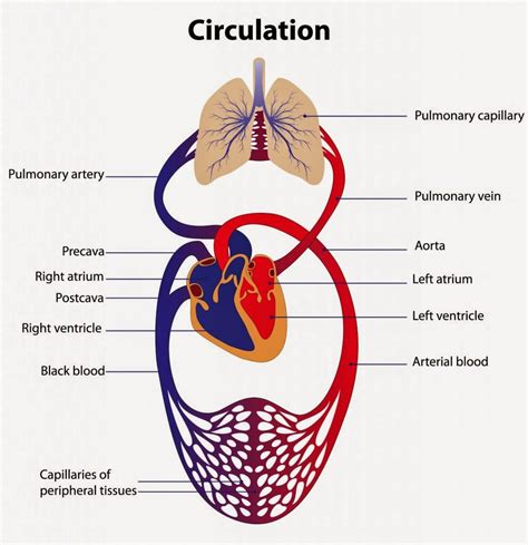 diagram of the circulatory system inspiring the circulatory system