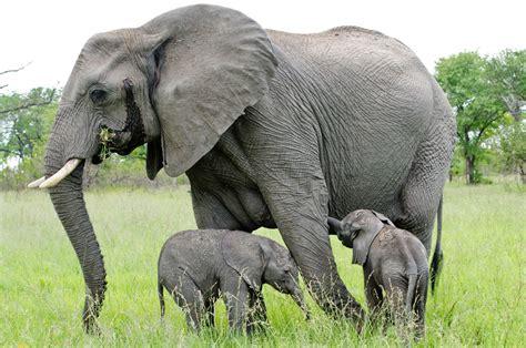 Taring Gajah 3 gambar gajah lengkap