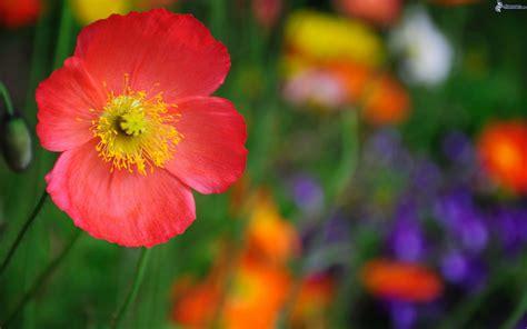il fiore rosso fiore rosso