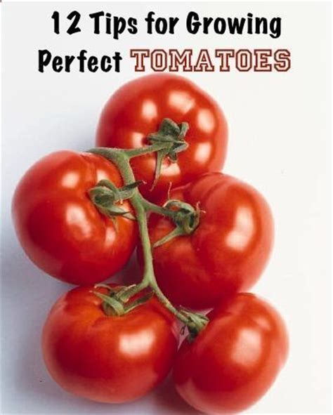 tomato growing tips garden pinterest