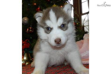 free siberian husky puppies near me siberian huskies for sale near me boxer health facts