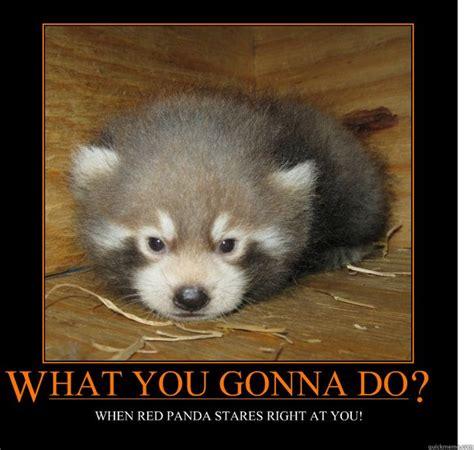 Red Panda Meme - baby red panda meme memes