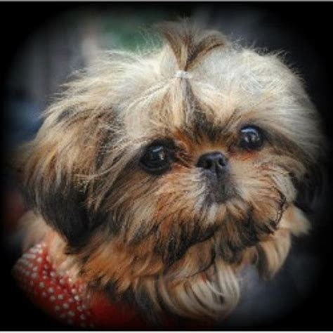 s tiny shih tzu beautys tiny shih tzu shih tzu breeder in san jose california listing id 21157