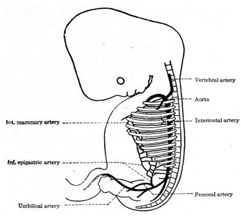 Human Embryo Development Diagram