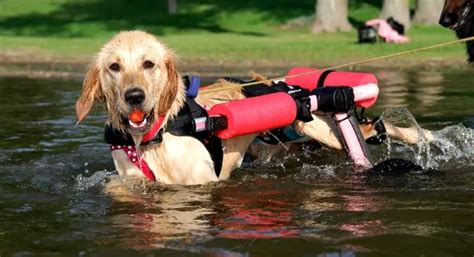 golden retriever wheelchair golden retriever wheelchair wheelchair stock photos wheelchair stock