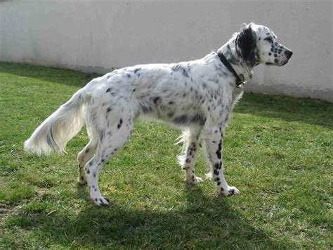 definition de setter anglais setter anglais caract 232 re origine prix 233 ducation et