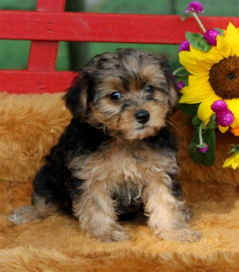 yorkie puppies for sale mn craigslist sweet yorkie pups puppy4me