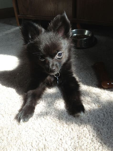black pomeranian puppies black pomeranian puppy all about dogs