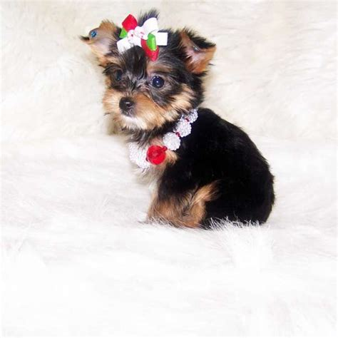 yorkies inc image gallery newborn teacup yorkie puppies