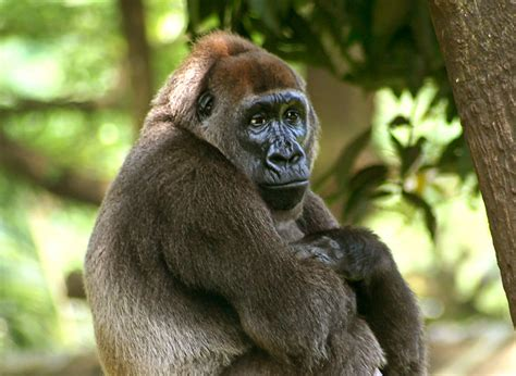 amazon rainforest animals gorilla animals photos images mating with down syndrome with names