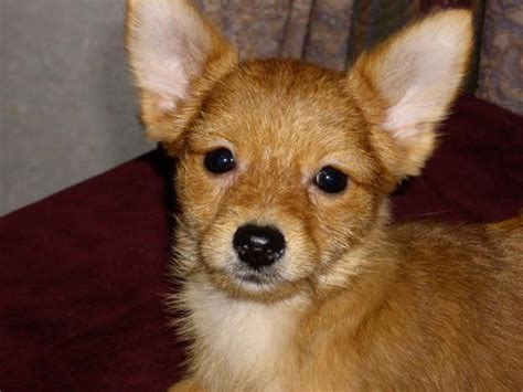 chion yorkies for sale yorkie chihuahua mix puppies breeds picture
