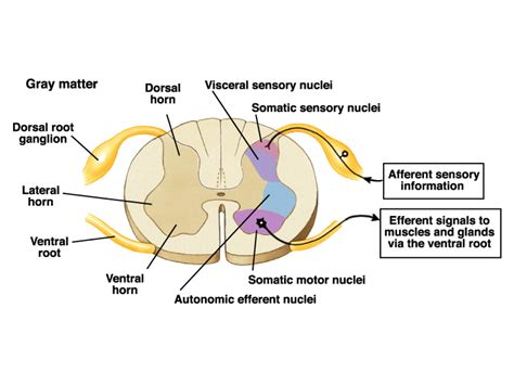 spinal cord diagram labeled anatomy organ