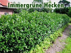 Immergrüne Pflanzen Sichtschutz 2396 by Immergr 195 188 Ne Hecke Immergr Ne Hecke Einebinsenweisheit