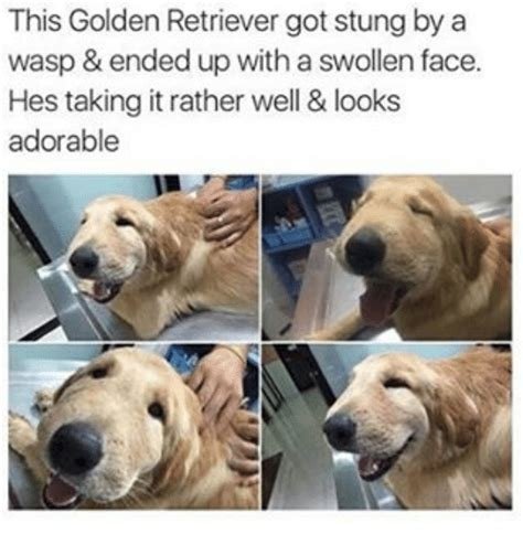 golden retriever stung by wasp this golden retriever got stung by a wasp ended up with a swollen hes taking it