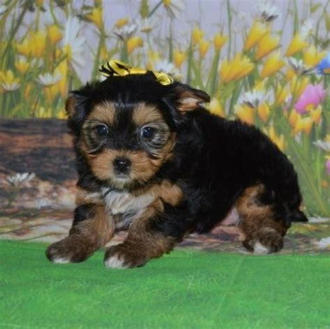 yorkie puppies for sale in jacksonville fl terrier puppies for sale jacksonville fl 197034 petzlover