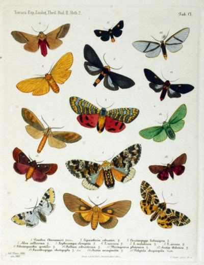 moths in the family arctiidae illustrations and graphic