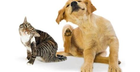essential oils for fleas on dogs how to use essential oils for fleas on dogs and cats precautions included