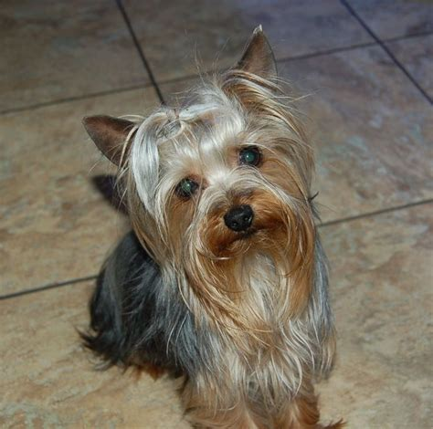 yorkie hawaii 44 best images about gregory s blondie other yorkie s on