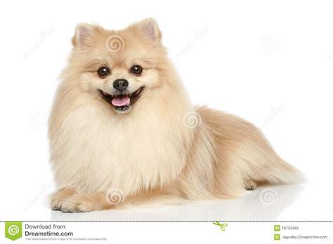 pomeranian spitz white pomeranian spitz puppy on a white background royalty free stock images image 18753459