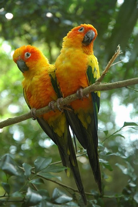 the birds and other sun conure facts behavior as pets care feeding