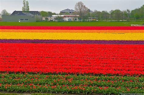 netherlands tulip fields tulip fields netherlands beautiful amazing world