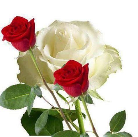 imagenes de rosas blancas y rojas animadas imagen de rosas blancas y rojas imagui