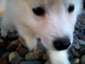 Cute american eskimo dog face photo and wallpaper beautiful cute