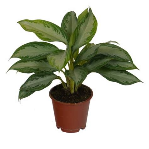 chinese evergreens chinese evergreen silver bay c12 buy chinese