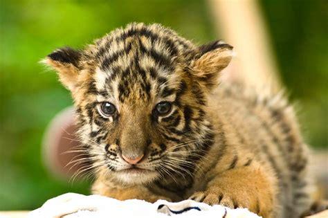 global tiger day    legendary animals