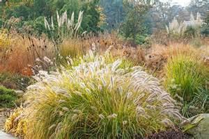 pennisetum alopecuroides moudry ornamental grasses