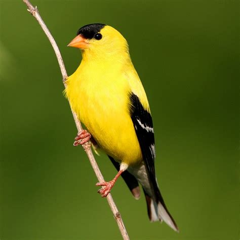 35 best images about beautiful american goldfinch
