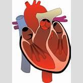 Human Heart Clipart   Clipart Panda - Free Clipart Images