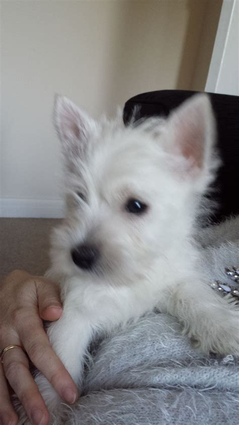 westie for sale westie for sale northton northtonshire pets4homes