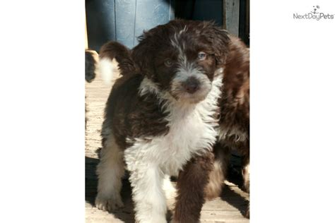 standard aussiedoodle puppies for sale meet si a aussiedoodle puppy for sale for 700 si standard aussiedoodle