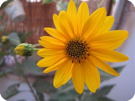 fiori topinambur piante e fiori di settembre il sito di roberta cucito