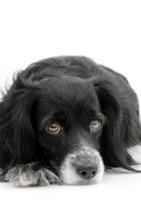 Chronic Stool In Dogs by Diarrhea In Dogs Stories From Diary Rrhea Part V